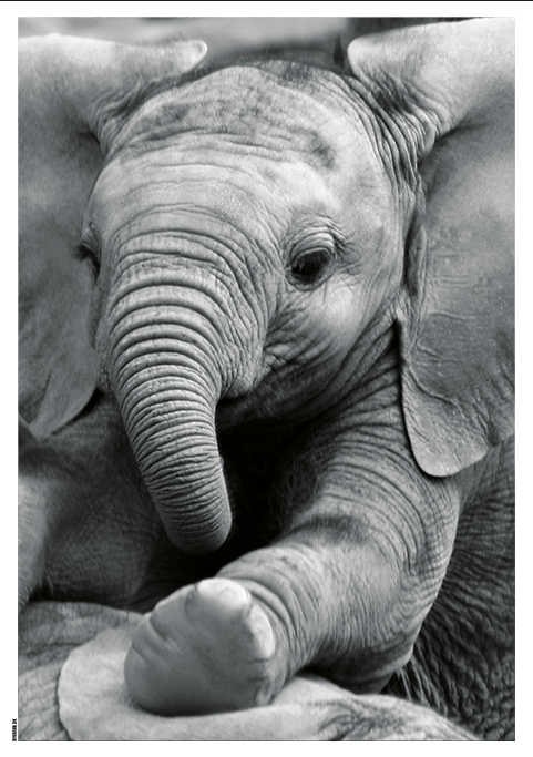 Image of   Baby Elephant-50 x 70