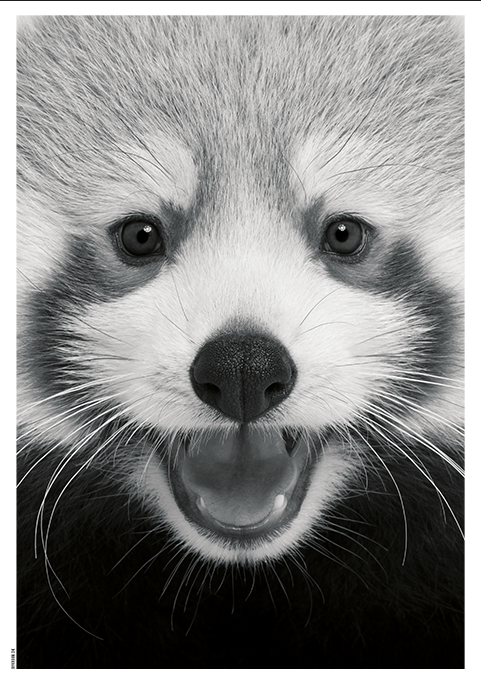 Image of   Baby Red Panda-50 x 70