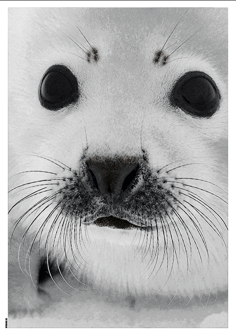 Image of   Baby Seal-50 x 70