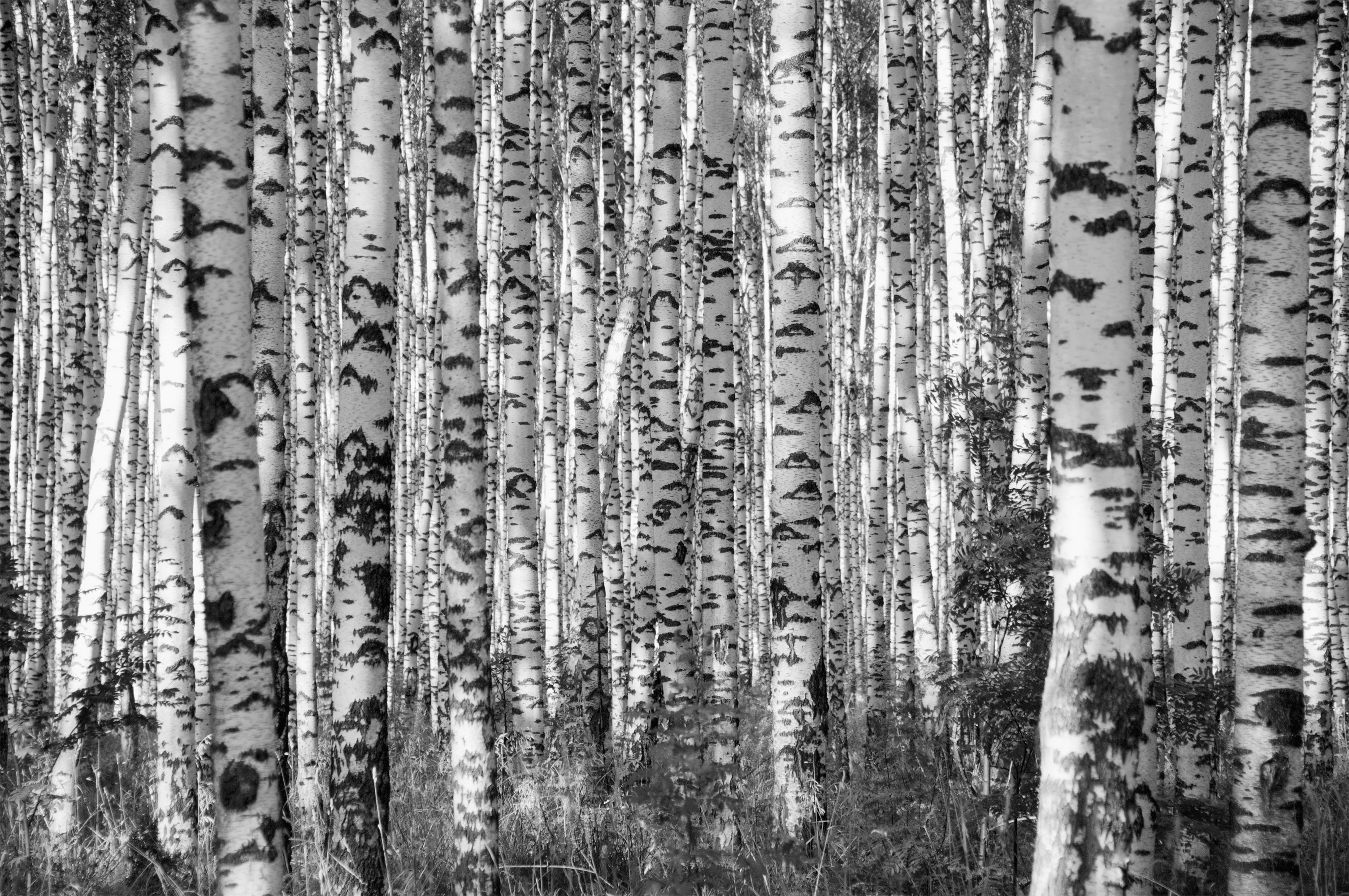 Image of   Birkeskov - Hvid