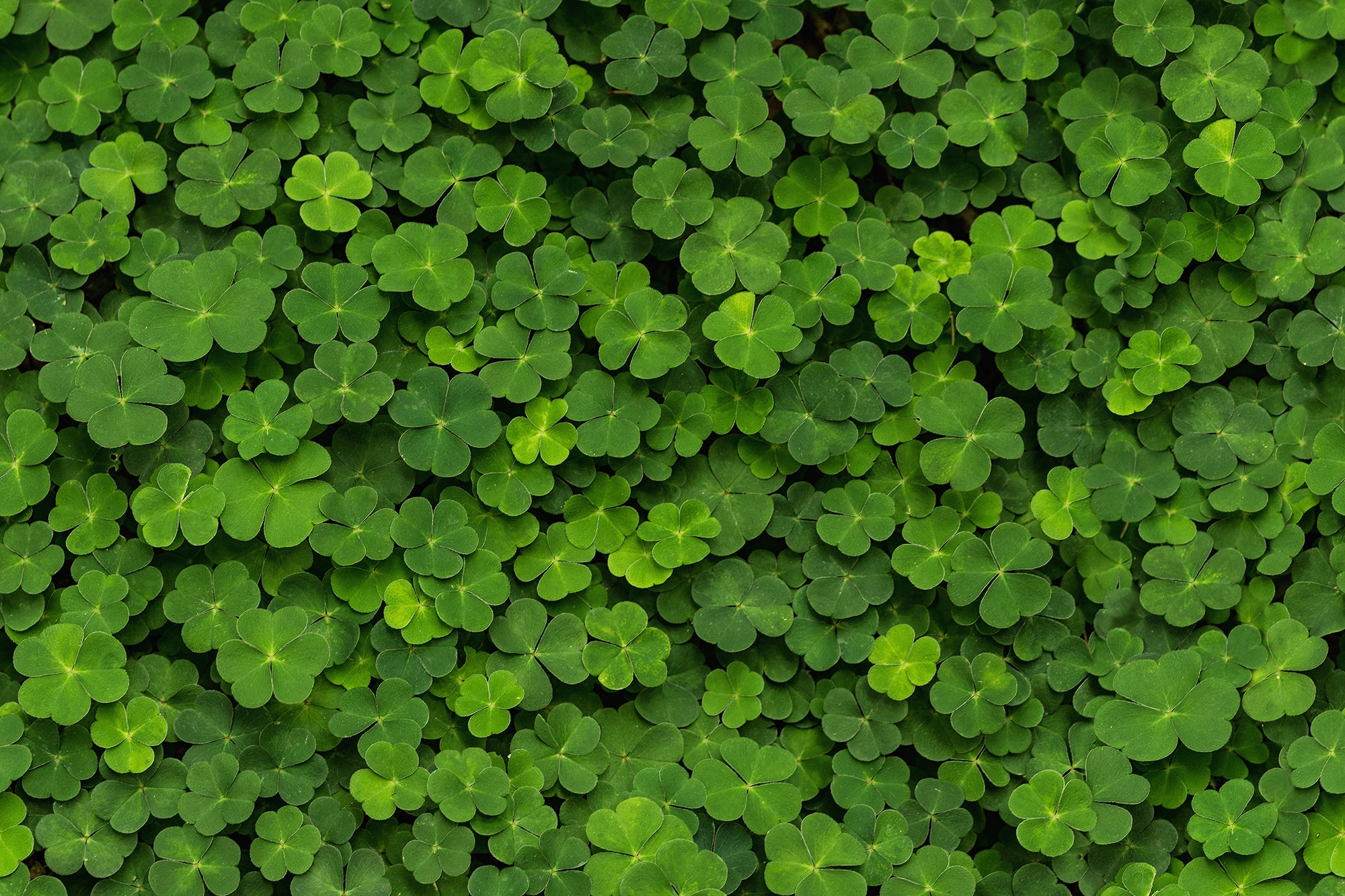 Image of   Clover