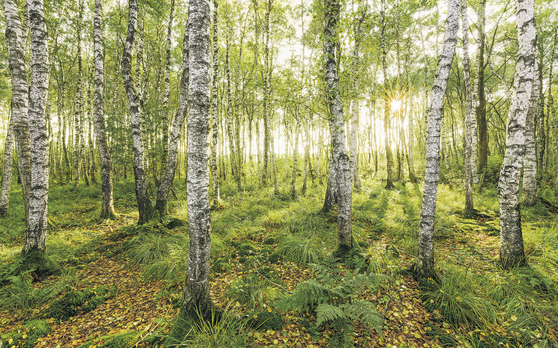 Image of   Birch Trees